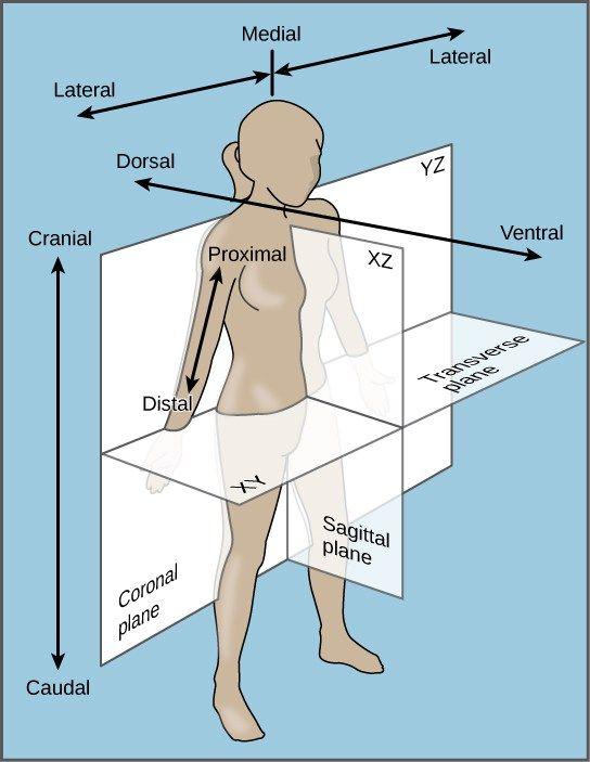 Image Result For Ventral And Dorsal Anatomical Position Biology