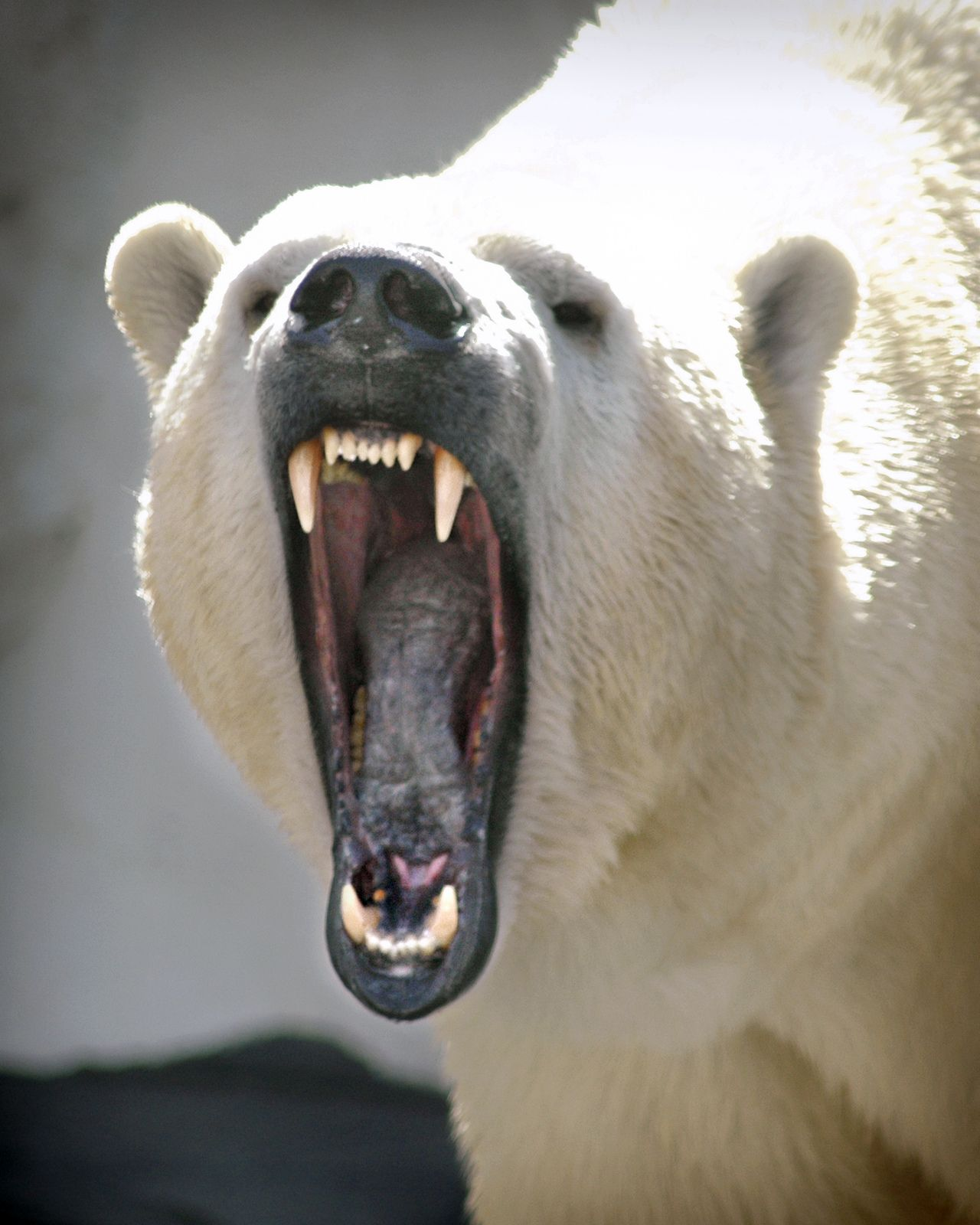 Polar Bear Growl Growling polar | Animal | Pinterest ...
