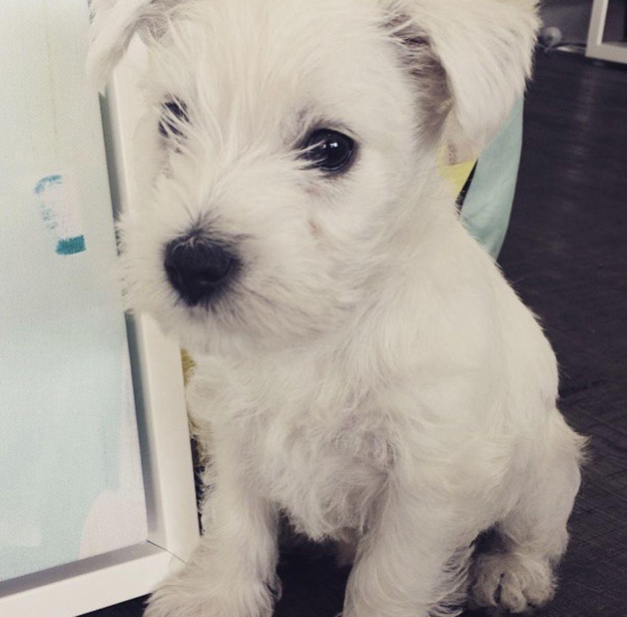 Coconut The West Highland Terrier Westie Puppies Puppy Lover