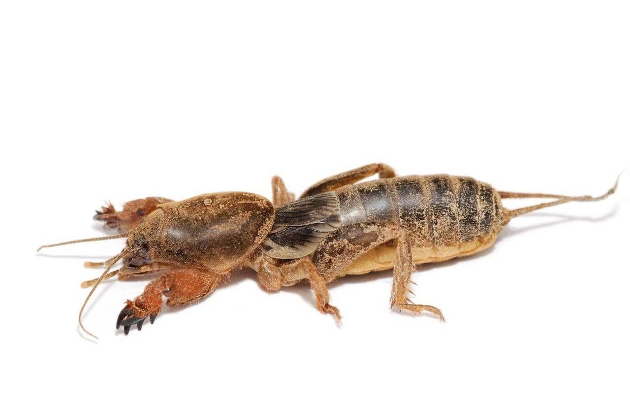European Mole Cricket Gryllotalpa Gryllotalpa Mole Cricket Endangered Animals Facts Insects