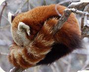 I Love Red Pandas Red Panda Panda Facts Panda