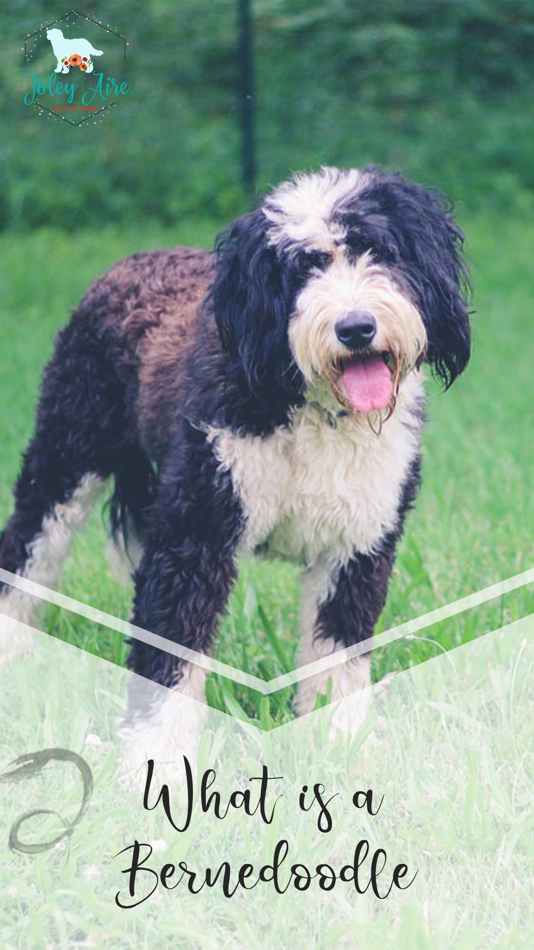What Is A Bernedoodle Bernedoodle Large Dog Breeds Hybrid Dogs