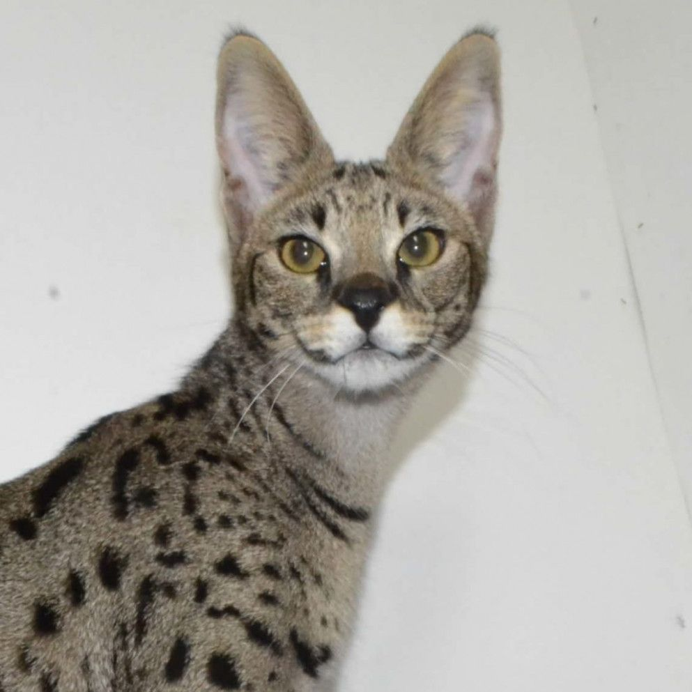 9 Cute Savannah Cat Average Price In 2020 Savannah Kitten Savannah Kittens For Sale Cats