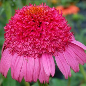 Perennila flower seeds | Seeds High Quality Coneflower Echinacea Perennial Flower Seeds You ...