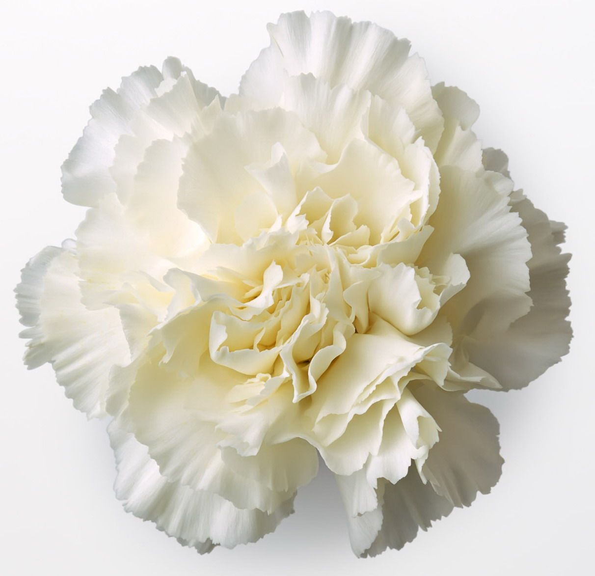 White Carnations In Flower Tags Carnation White Carnation