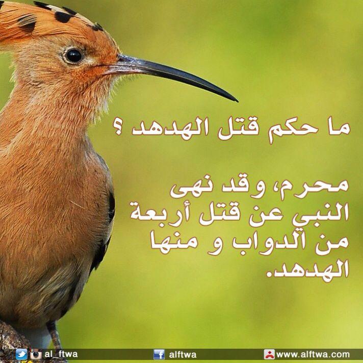 ما حكم قتل الهدهد رابط الفتوى Http Www Salmajed Com Fatwa Findfatawa Php Arno 12365 Animals Bird