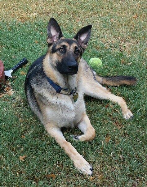 Sirius With His Ball German Shepherd Animals Cute Photos