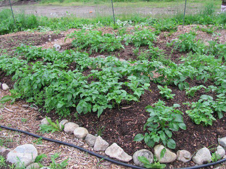 Potato plants growing 'in the ground' method