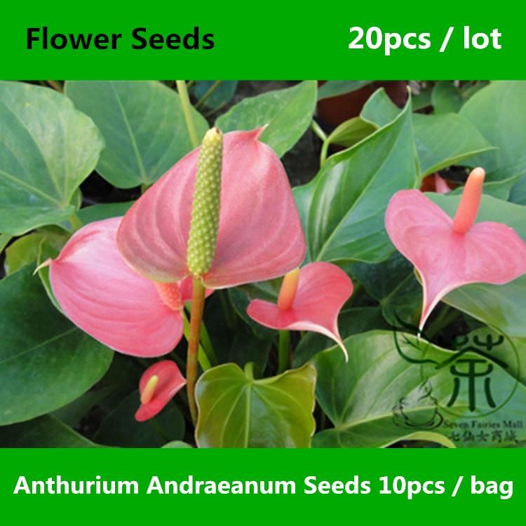 Anthurium The Largest Genus Of The Arum Family Araceae General Common Names Include Anthurium Tailflower Fl Unusual Flowers Beautiful Flowers Rare Flowers