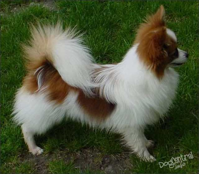 And Puppies Papillon Mix Yorkie