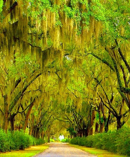 Relaxing Places To Visit In Georgia: Oaks Dripping In Spanish Moss Line Liberty's Drive