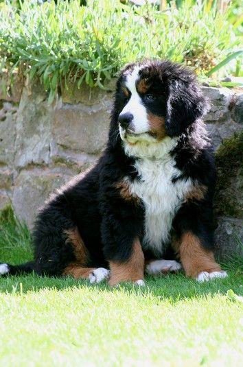 Sheffield Breeder Puppies Animals Dogs