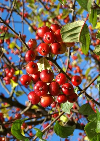 Can You Eat Crabapple Tree Fruit
