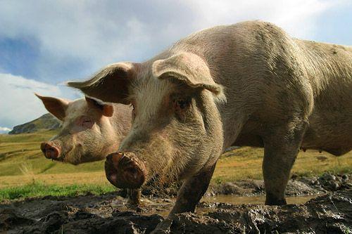 Couple de cochons