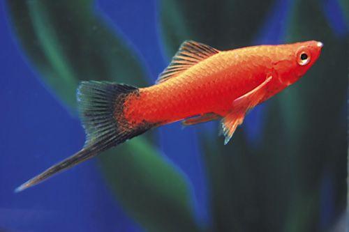 Turquoise colored fish | Swordtails - Xiphophorus helleri