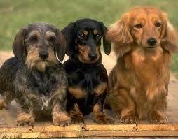 3 Types Of Dachshunds Dachshund Dog Miniature Schnauzer Puppies