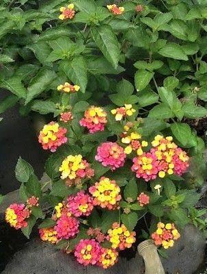 Confetti Spreading Lantana A Long Time Favorite Lantana Flower Garden Plans Monrovia Plants