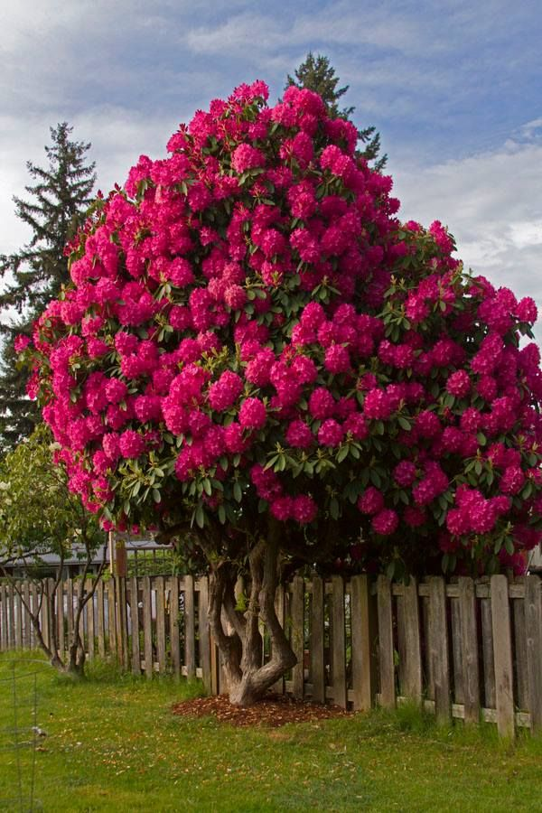 Magical Rhododendron Tree Natures Colors Flowering Trees Hydrangea Garden Beautiful Gardens