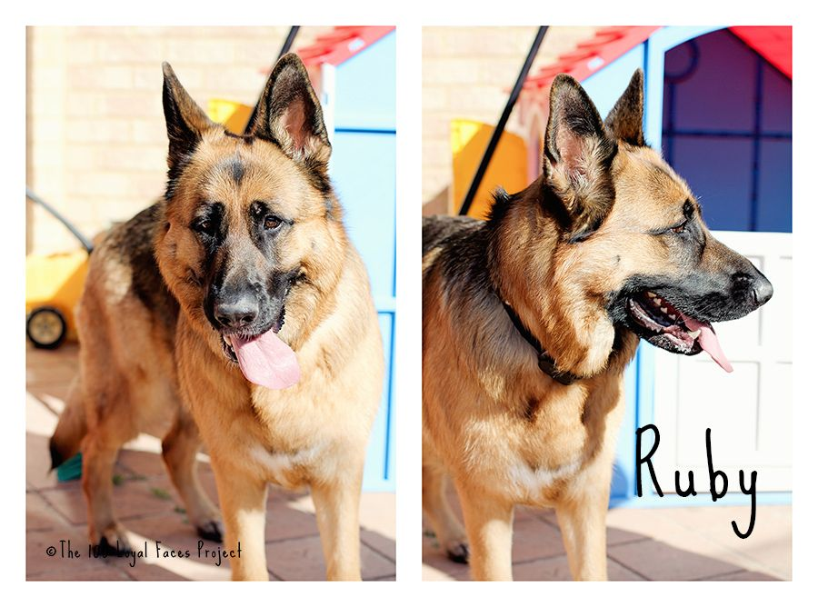 Ruby the German Shepherd www.100loyalfaces.com