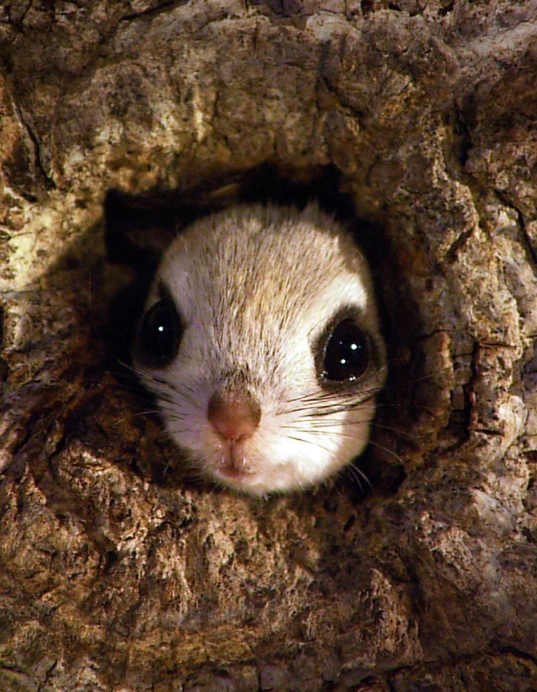 What You Need To Know As Owner Of Flying Squirrel Pet With Images