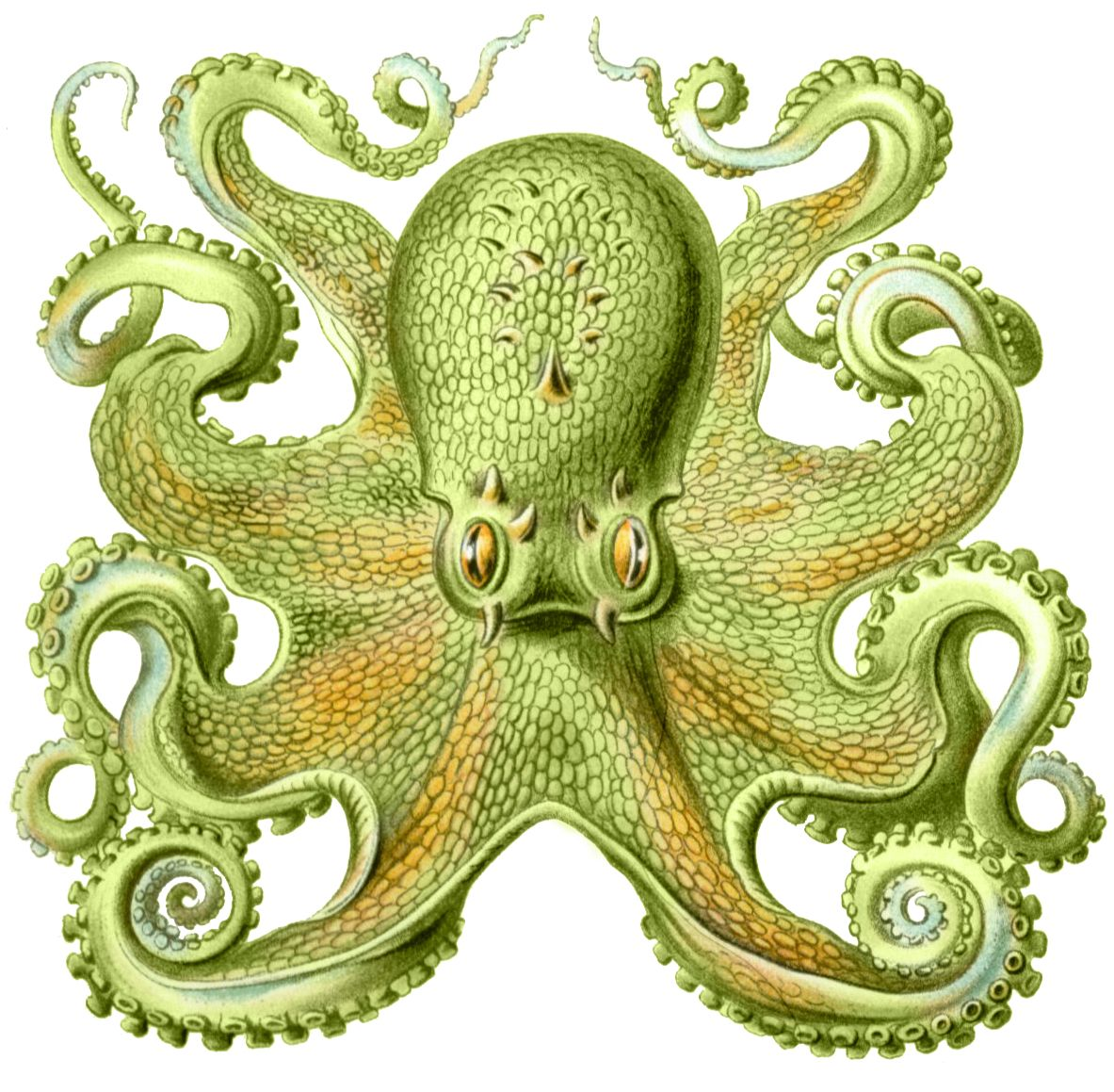 Pin By Zaza On Cephalopods Octopus Sea Creatures Squid Drawing