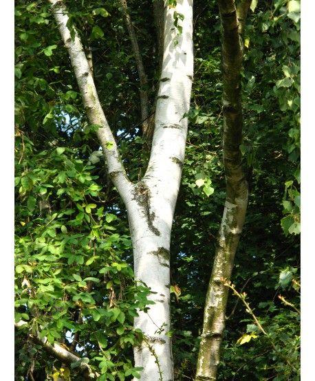 Bouleau verruqueux betula pendula levavasseur for Pepiniere en ligne pas cher