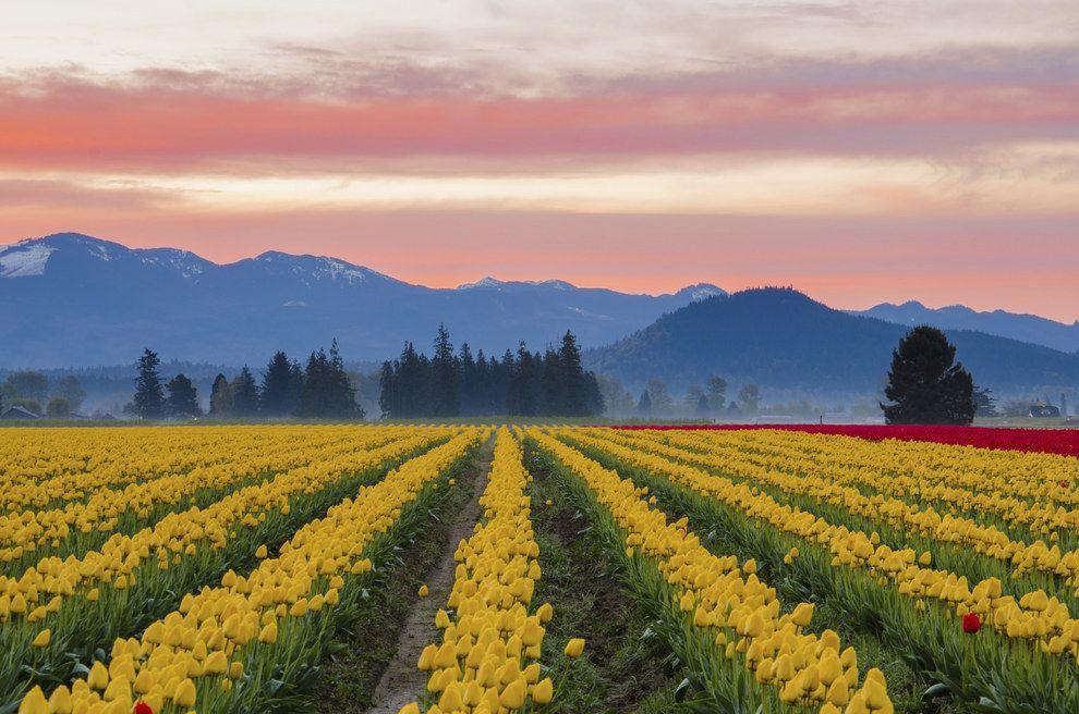 Campos de tulipanes del Valle Skagit en Washington, Estados Unidos: