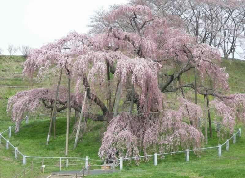 Miharu Taki Sakura A 1 000 Year Old Cherry Tree Regarded As One Of The Three Great Cherry Trees Of Japan Http Kikuko Nagoya Com Htm Hanami Cherry Tree Tree