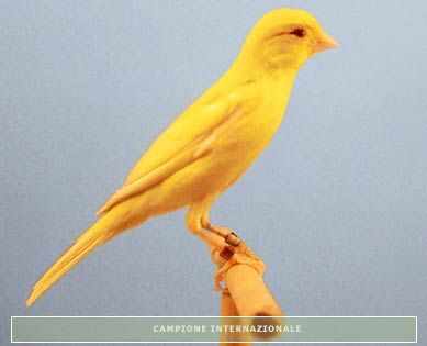 Raza Espanola Canary  It is common practise in mainland