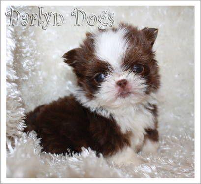 Akc Shih Tzu Chocolate Tuxedo Girl Tiara Cute Animal Pictures Shih Tzu Cute Puppies