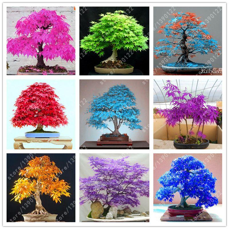 40 Purple Color Japanese Maple Tree Bonsai Seeds Acer Palmatum
