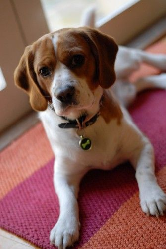 Must see Snoopy Beagle Beagle Adorable Dog - fb9b96dfe273e71113b65227579e584a  Trends_98369  .jpg