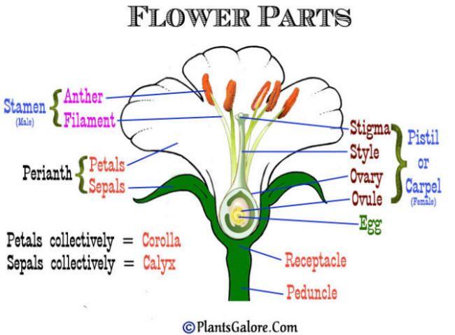 A Gardener S Dictionary From Plantsgalore Com Diagram Of A