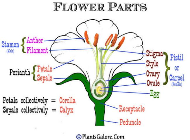 Milkweed flower parts nature pinterest milkweed plant and plants ccuart Choice Image