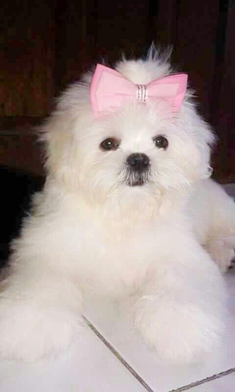 Anikka A 4 Mos Very Sweet Pure White Shih Tzu Puppy Shih Tzu