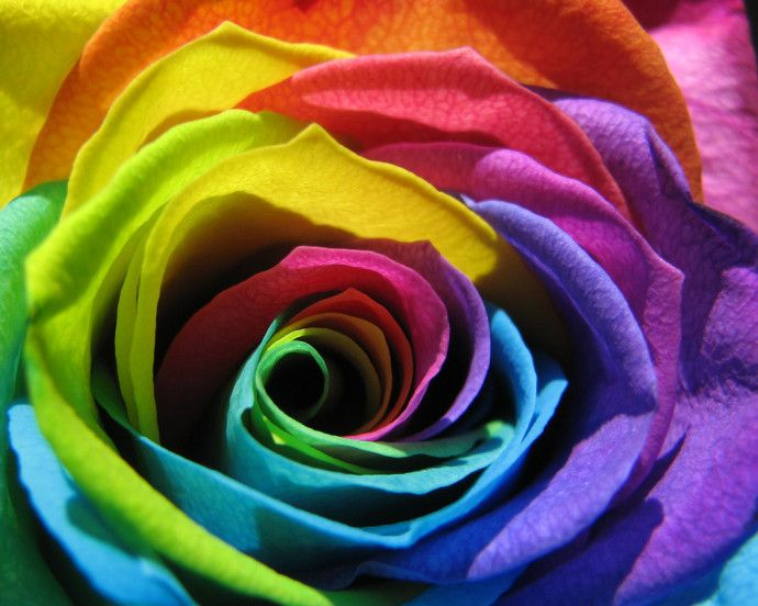 Rainbow Rose Flower Hd Wallpapers Rainbow Rose Flower With