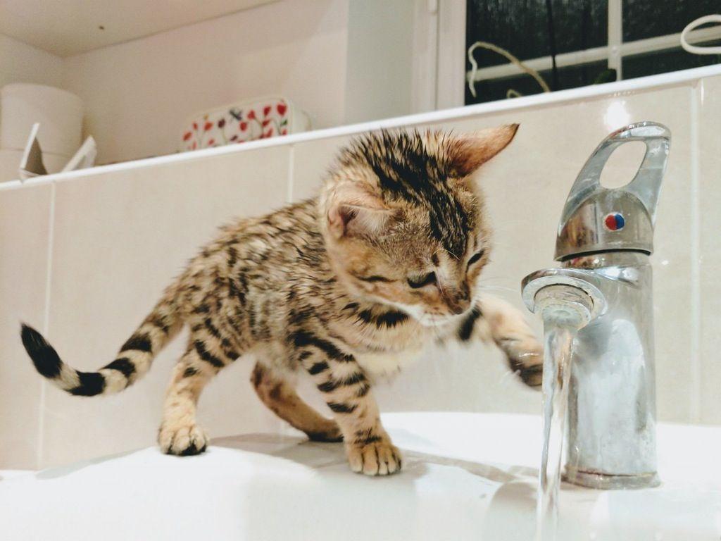 Meet Luna Our Bengal Kitten Aww Bengal Kitten Bengal Cat Cute Little Animals