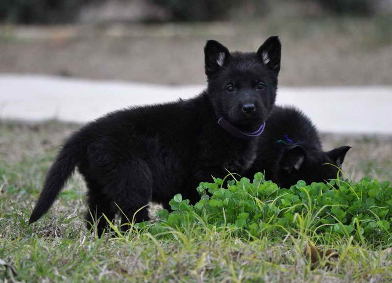 All Black German Shepherd Puppies For Sale In Texas Black German
