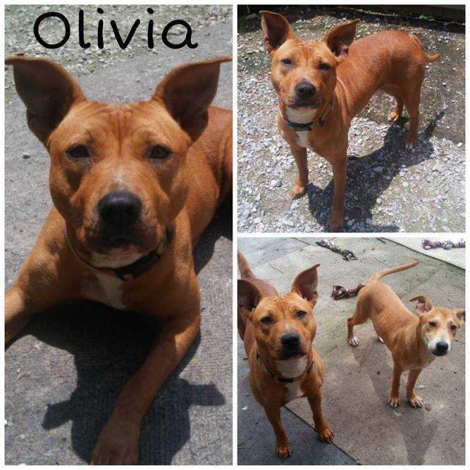 Adopt Olivia on Petfinder Labrador retriever, Labrador
