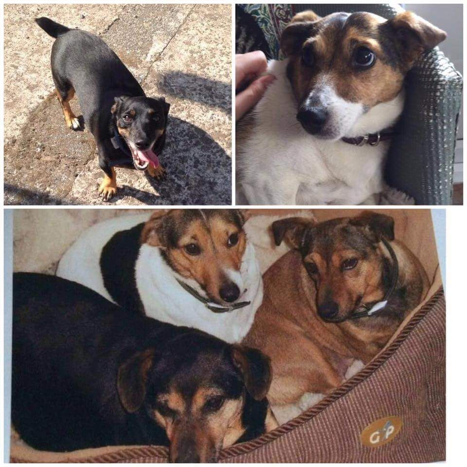 Three Jack Russell Terriers Missing Help Find Bramble Holly And Lily They Jack Russell Terrier Jack Russell Russell Terrier