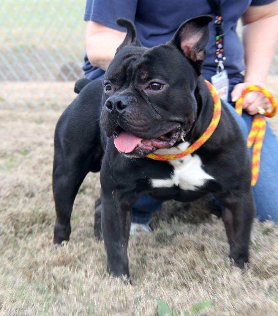 Free Lance Bulldog Dog For Adoption In Minneapolis Mn Adn 451636