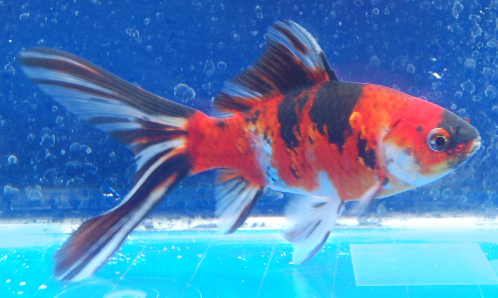 Goldfish shubunkin side view koi pond and gold fish for Goldfisch und koi