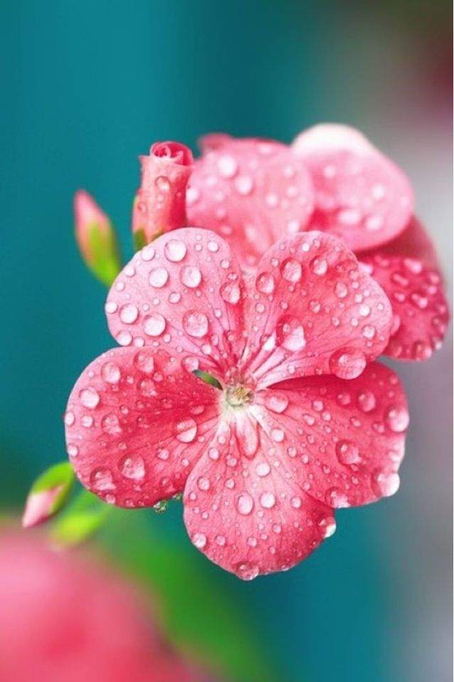 Lovely Pink Flower With Little Rain Drops Flower Raindrops Pink