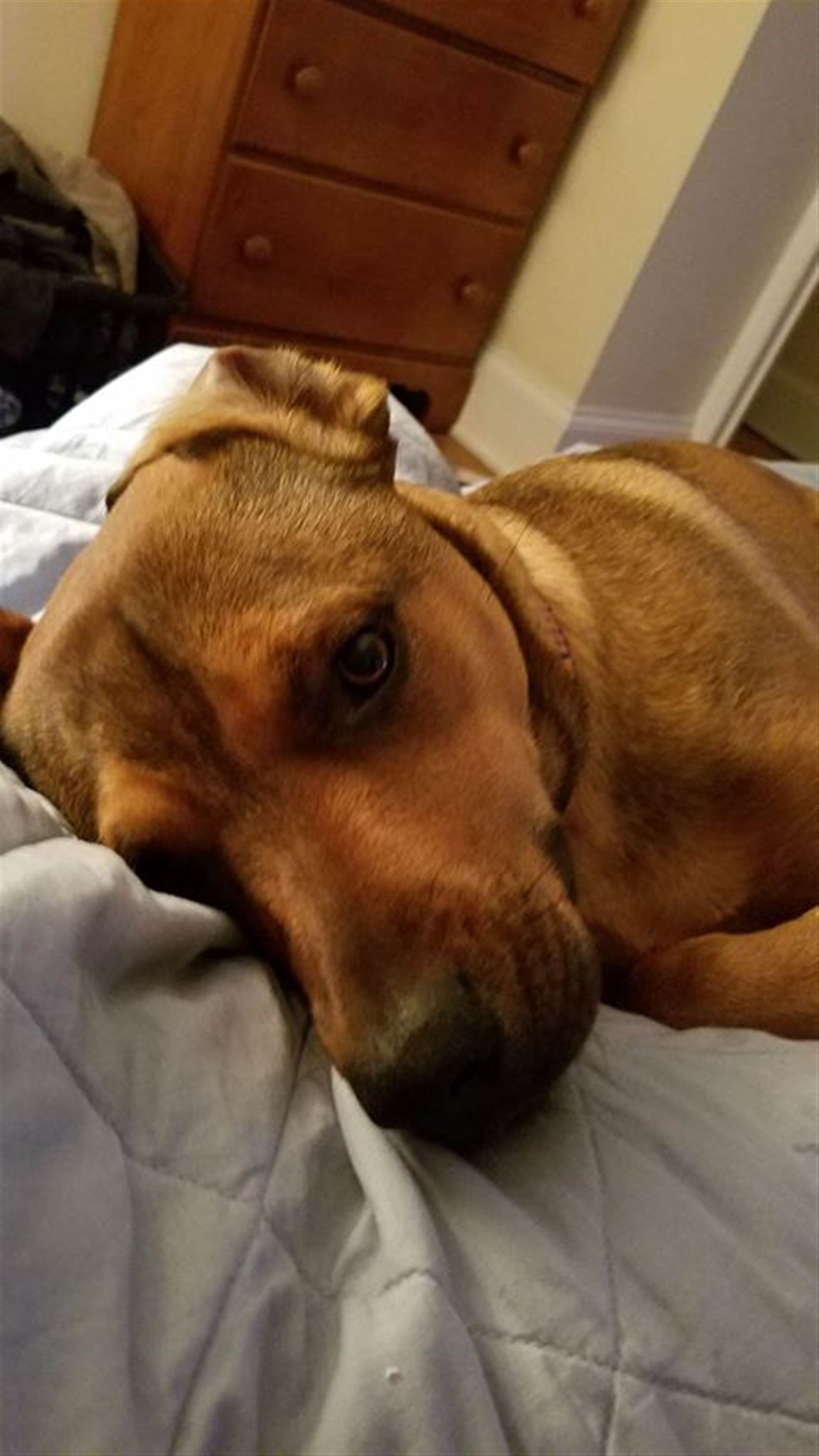 This is Pepper. She is a mix between a rhodesian ridgeback