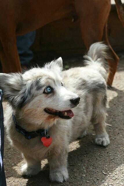 Still Want I Mean Look At Those Eyes Corgi Husky Mix Mooie Honden Corgi Corgi S