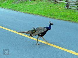 Pourquoi le Peacock traverser la route par wolfwings1