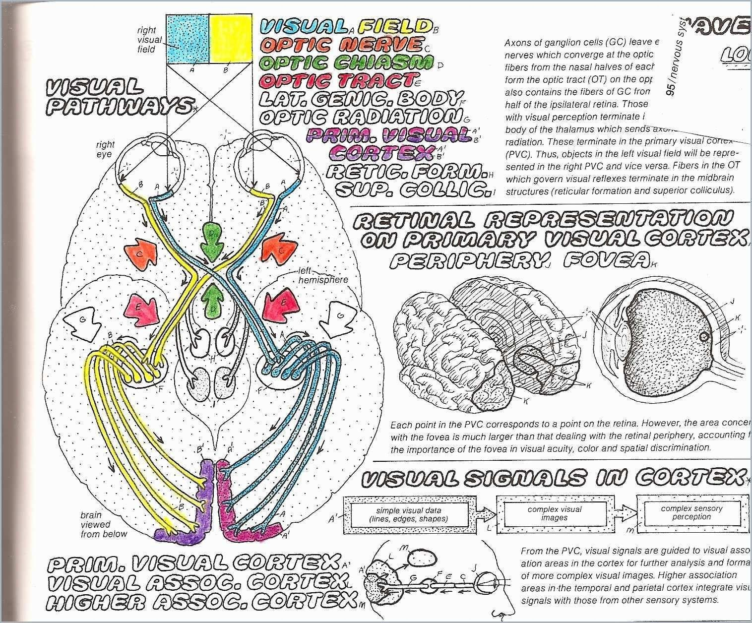 Anatomy Coloring Book Pdf Beautiful Greys Anatomy Coloring Pages Best Veterinary Cat Canine Pdf Anatomy Coloring Book Cool Coloring Pages Anatomy