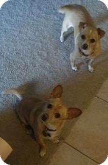 Scottsdale Az Chihuahua Mix Meet Katie And Doc A Dog For Adoption Lucky Dog Rescue Chihuahua Mix Dog Adoption Kitten Adoption