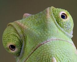Image result for Chameleons can move both of their eyes in different directions at the same time.