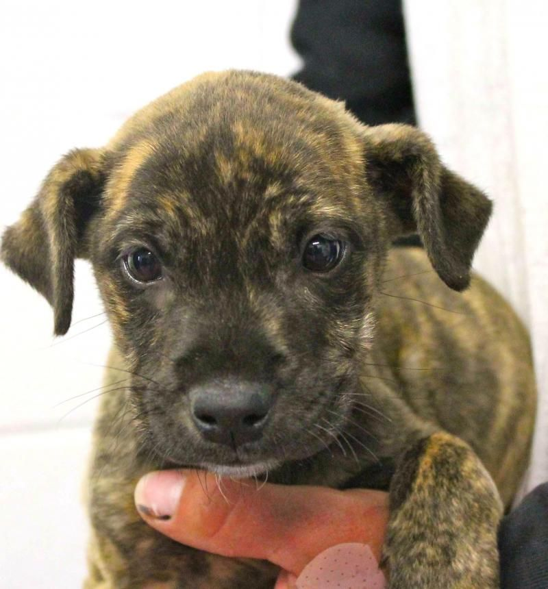 Adopt DANIEL TALBOT on Boxer dogs, Brindle, Dogs